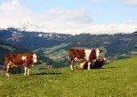 Mairhof - Kühe auf der Weide