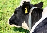 Mairhof - Kuh
